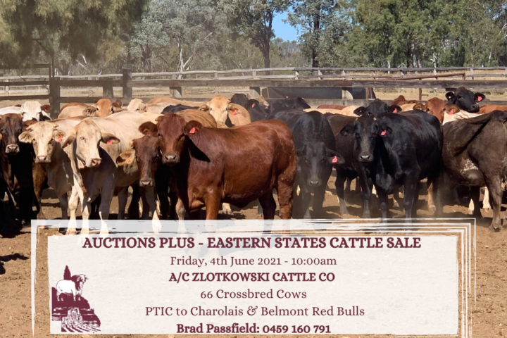 AUCTIONS PLUS - Eastern States Cattle Sale Friday, 28th May 2021 - 1000am AC ZLOTKOWSKI CATTLE CO 66 Crossbred Cows Brad Passfield 0459 160 791